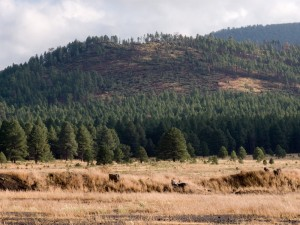 Flattened forest of Ponderosa Pine in northern Arizona from the tornadoes on October 6, 2010.