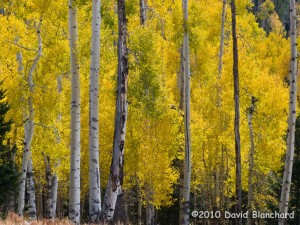 A grove of aspen trees in full autumn color on the San Francisco Peaks.