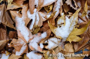 Snow atop fallen sycamore leaves in Pumphouse Wash.