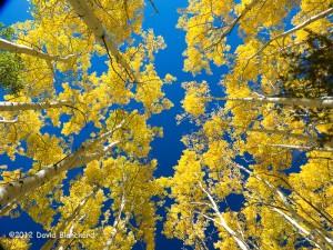 Deep blue sky and aspen along the Arizona Trail.