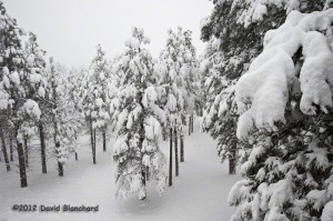 New snow blankets the Ponderosa Pine forest.