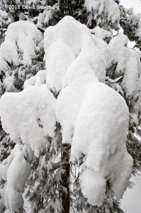 Detailed texture of snow clinging to branches.