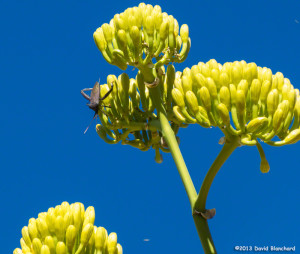 Agave plant in bloom.