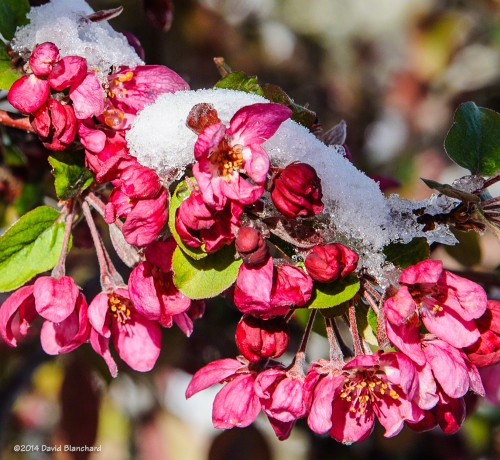 New fallen snow and crab apple blossoms.