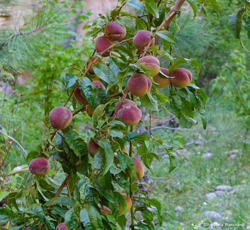 A peach tree deep within West Clear Creek canyon.