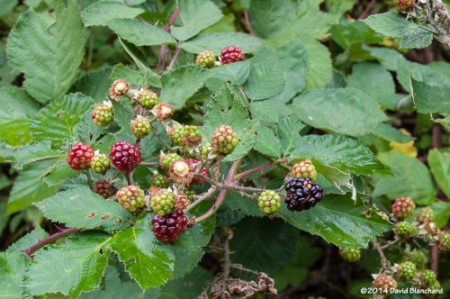 A late season crop of ripening blackberries along West Fork.