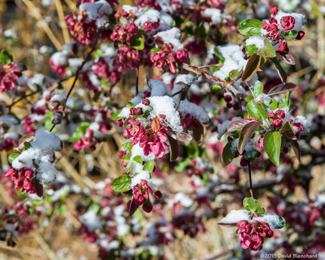 Spring snow on crab apple blossoms.