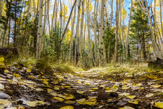 Aspen leaves cover the Arizona Trail.
