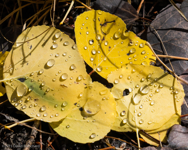 Water droplets on aspen leaves sparkle in the brilliant autumn sunshine.