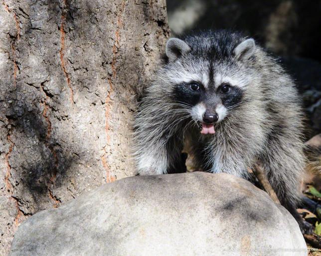 Raccoon flicking his pink tongue.