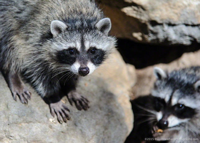 A pair of raccoon youngters in Oak Creek Canyon.