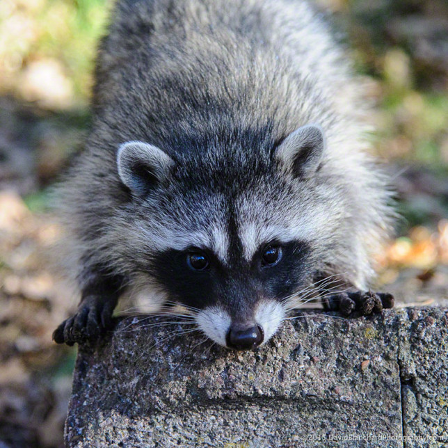 Raccoon youngster taking a good look at the photographer.