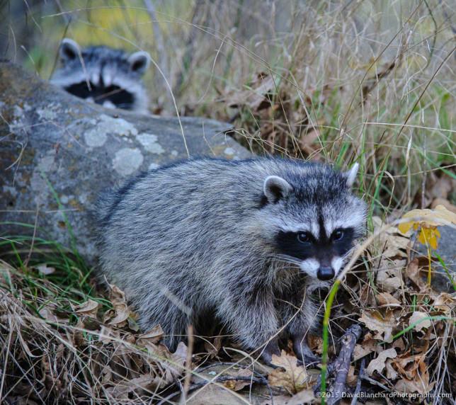 Raccoons in Oak Creek Canyon.