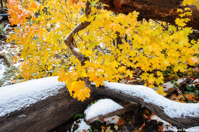 Maple leaves show their fall colors as snow lies on a fallen tree in Oak Creek Canyon.