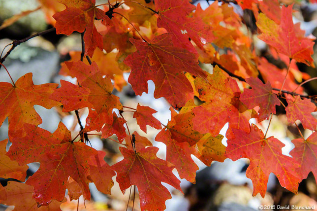 Finally! Some red appears in the maples this year.