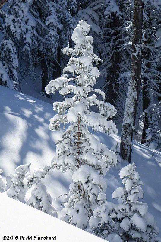 Snow covered trees in the Kachina Peaks.