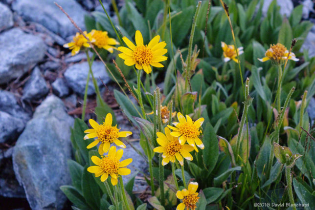 Yellow<a href='https://en.wikipedia.org/wiki/Arnica' target='_blank'> Arnica flowers </a>at twilight.