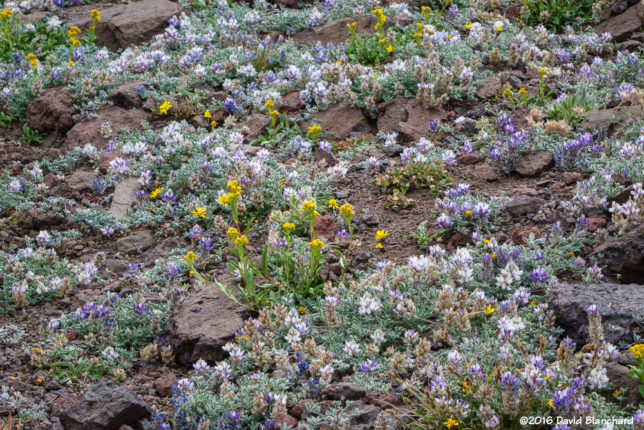 Field of wild flowers on Pacific Crest Trail.