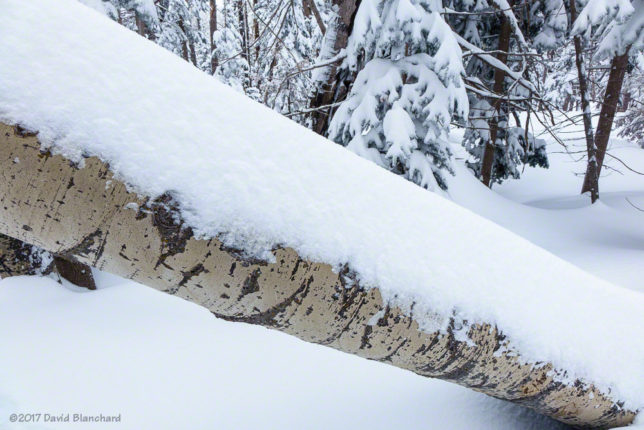 New snow on a toppled aspen tree.