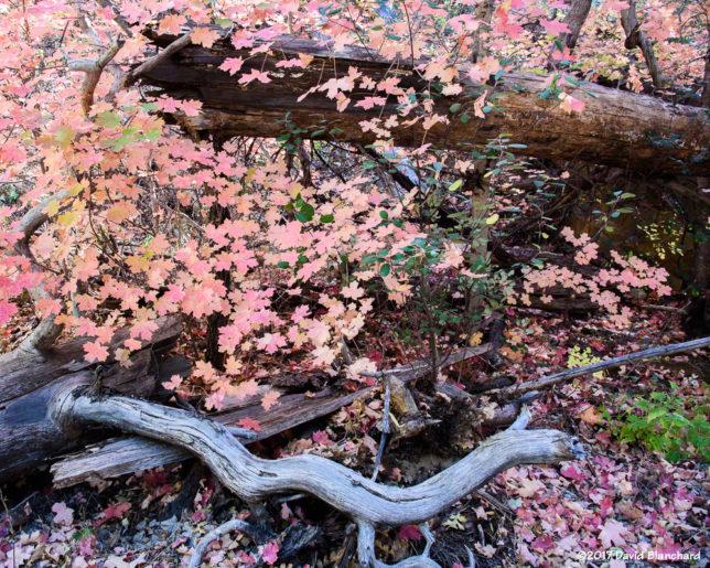 Maple leaves in Oak Creek Canyon.