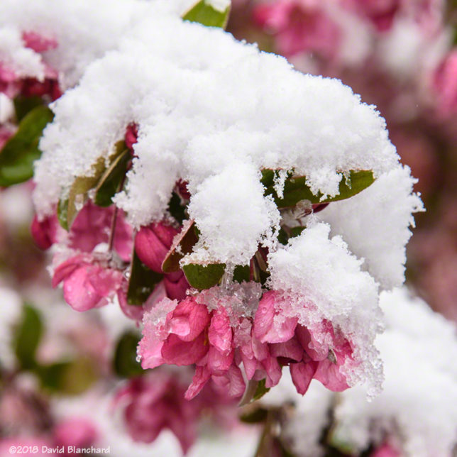 Snow and crab apple blossoms.