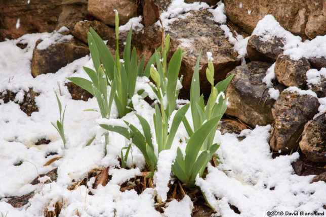 New snow on iris.