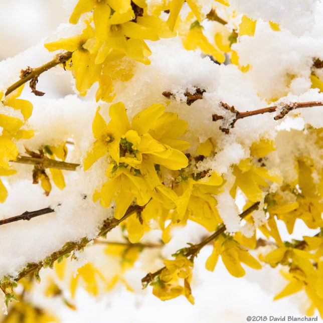 Snow and forsythia blossoms.