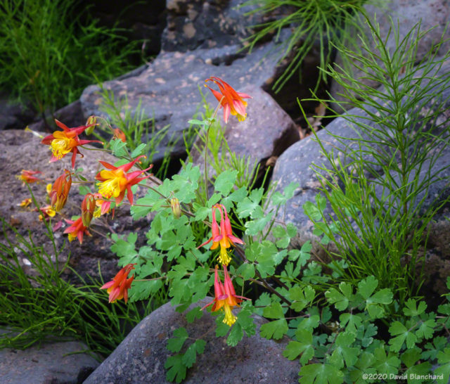 Columbines in the deep shadows of Pumphouse Wash.