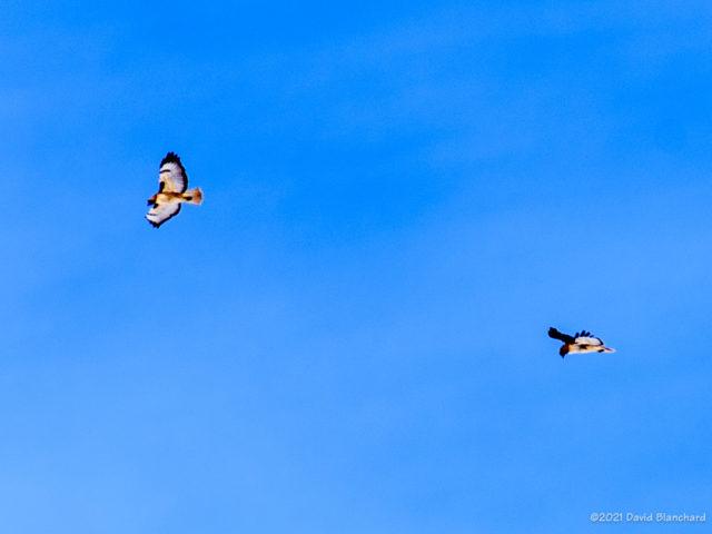 Two (of three) hawk near Mormon Lake.