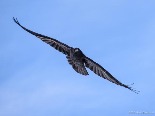 Raven riding the updrafts near Mormon Lake.