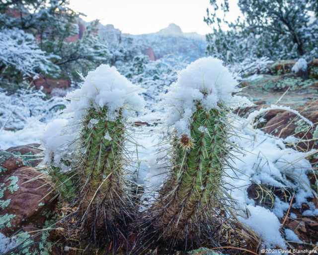 Snow covered cactus.