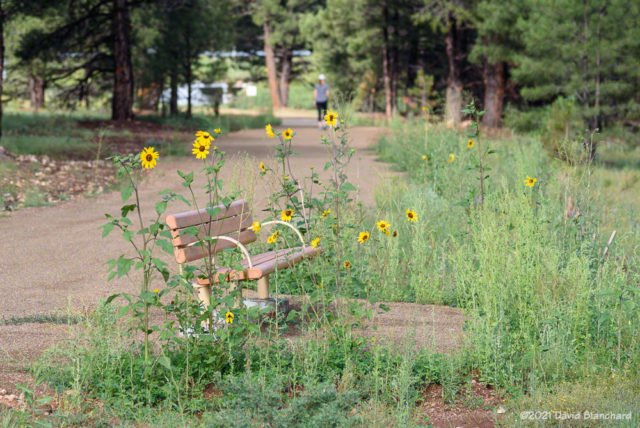 Sunflowers along the recently completed Sheep Crossing Trail in Flagstaff.