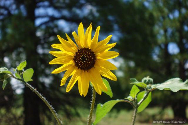 Sunflower closeup.