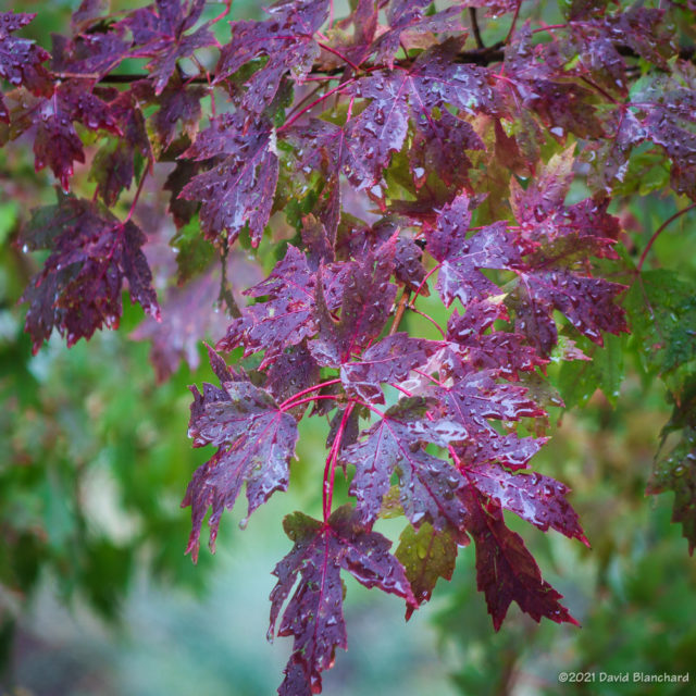 Autumn colors on a maple tree in my back yard.