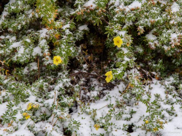 New-fallen snow lies on this cinquefoil plant.
